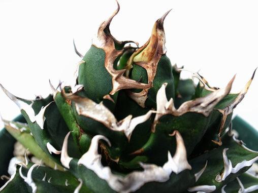 agave titanota crazy