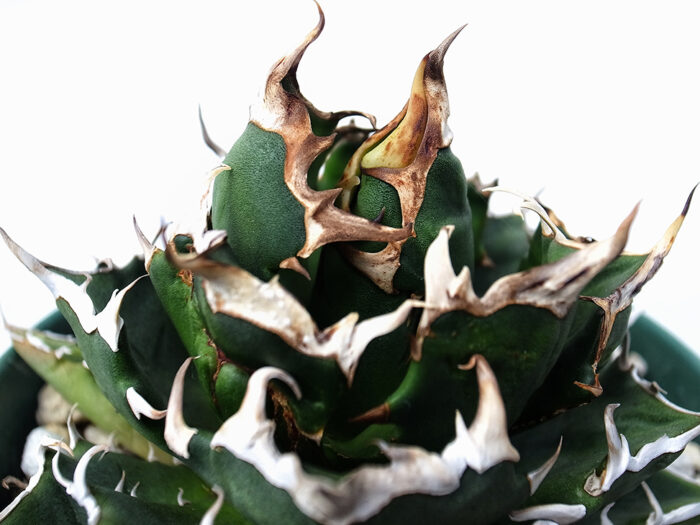 agave crazy